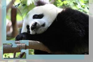 熊猫拼拼看