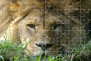 非洲雄狮拼图